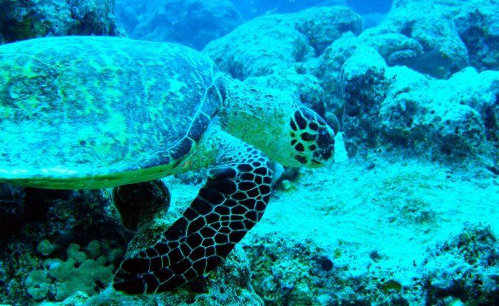 Turtle Undersea Maldives Islands