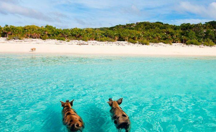 Swimming Pigs Exumas Bahamas